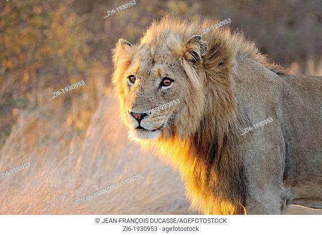 Lion, Panthera leo, standing on the road, Kruger National Park, South Africa