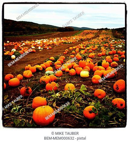 Pumpkins growing in patch