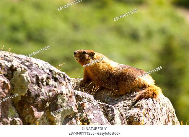 a yellow bellied marmot on a rock outcrop in thehigh country