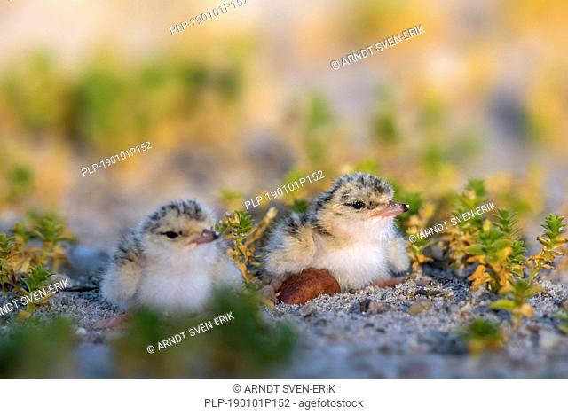 Little tern (Sternula albifrons / Sterna albifrons) chicks in saltmarsh in late spring / summer