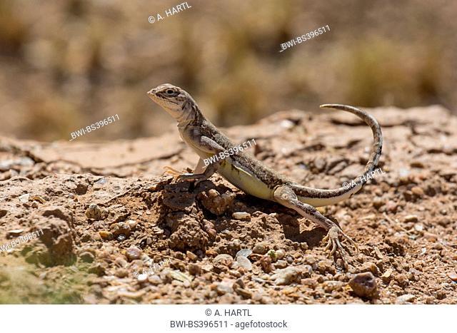 Zebratail lizard, Zebra-tailed lizard (Callisaurus draconoides), stretching the tail upwards, USA, Arizona, Sonoran