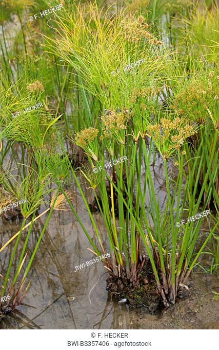 papyrus, paper plant, bulrush (Cyperus papyrus), blooming