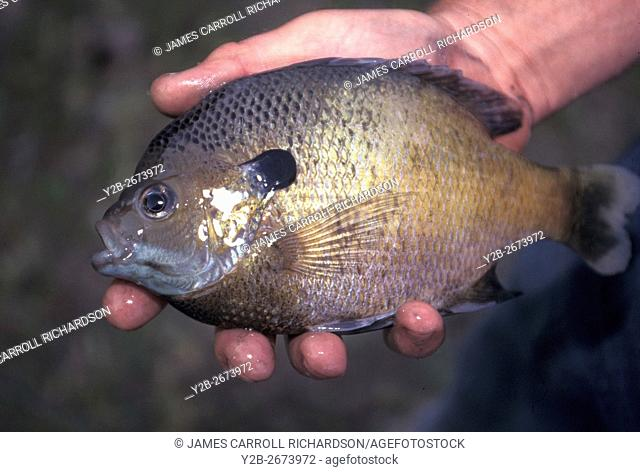 Bluegill at Herb Parsons Lake in Tennessee