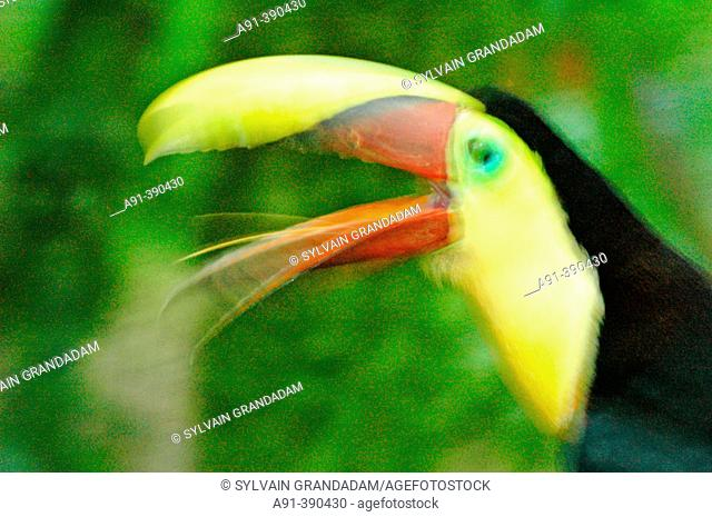 Toucan at La Marina zoo park where wounded or ill animals are taken care of. Costa Rica