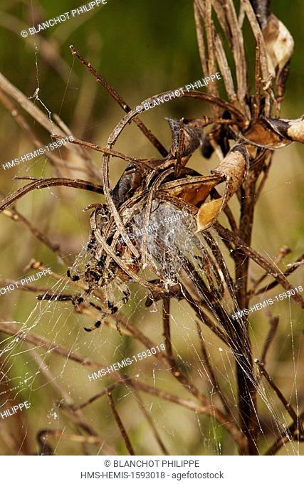 France, Araneae, Araneidae, Four-spot orb-weaver (Araneus quadratus) in its funnel-shaped retreat
