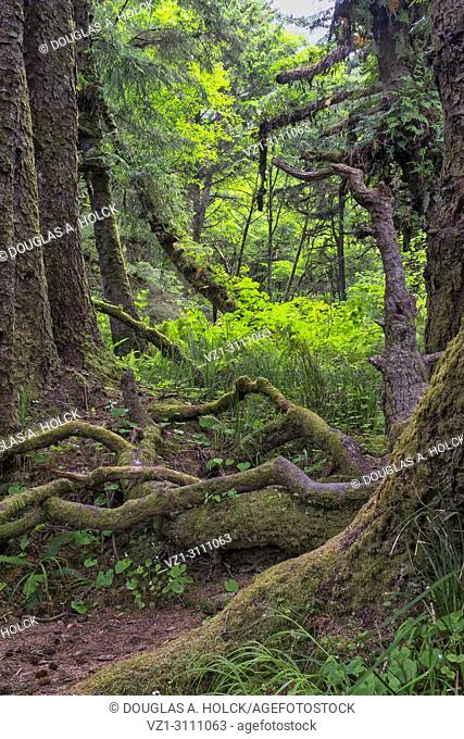 Gnarly limbs and bare roots in Fern Canyon forest, Prarie Creek Redwoods State Park, California, USA