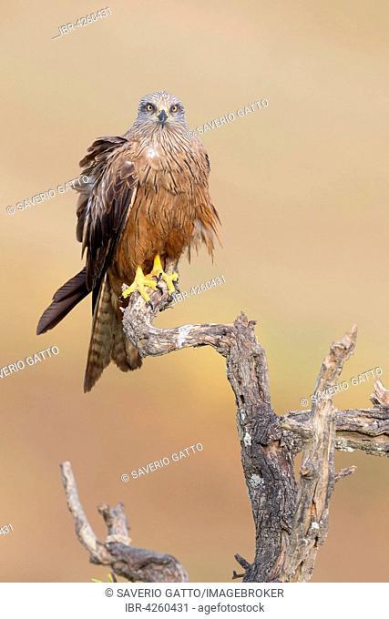 Black Kite (Milvus migrans), adult perched on a dead tree, Basilicata, Italy