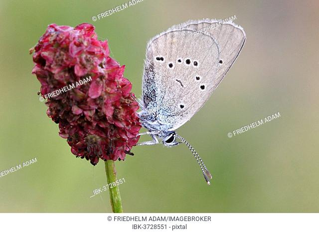 Mazarine Blue (Polyommatus semiargus) butterfly showing the underside of its wing on a Great Burnet (Sanguisorba officinalis), North Rhine-Westphalia, Germany