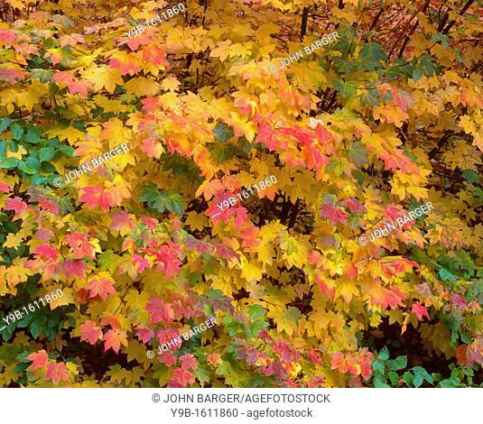 Fall color of vine maple, Acer circinatum, Tumwater Canyon, Wenatchee National Forest, Washington, USA