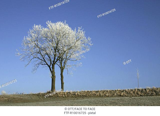 Two Trees in winter, winterly