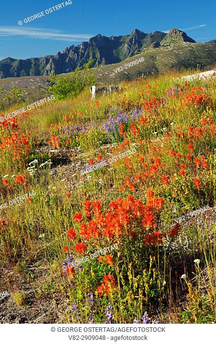 Indian paintbrush at Johnston Ridge, Spirit Lake Memorial Highway, Mt St Helens National Volcanic Monument, Washington
