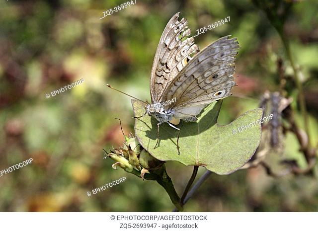 Grey Pansy Butterfly, Junonia atlites, Aarey Milk Colony, Mumbai