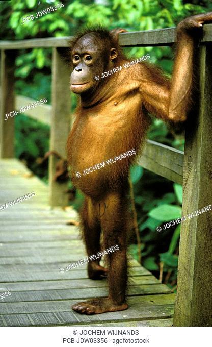 Sabah, a baby orangutan at sepilok