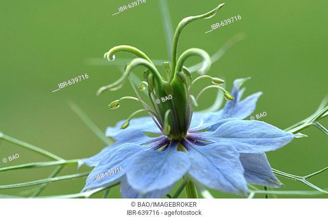 Black Caraway or Fennel Flower or Roman Coriander (Nigella sativa) blossom, spice, medicinal plant