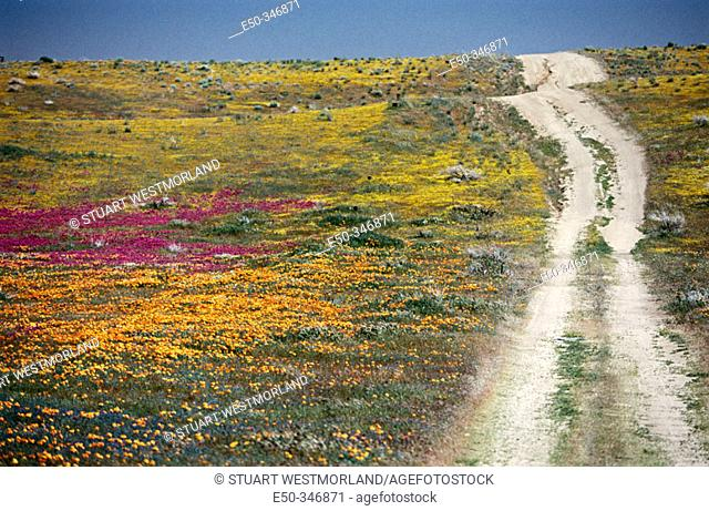 Rural road, California poppies and coreopsis. Southern California. USA