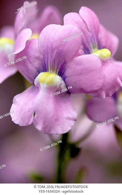 Snapdragon Antirrhinum majus flowers close up, England, UK