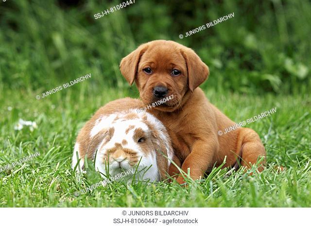 Labrador Retriever and Dwarf Lop-eared bunny. Puppy (6 weeks old) and rabbit sitting next to each other on a meadow. Germany
