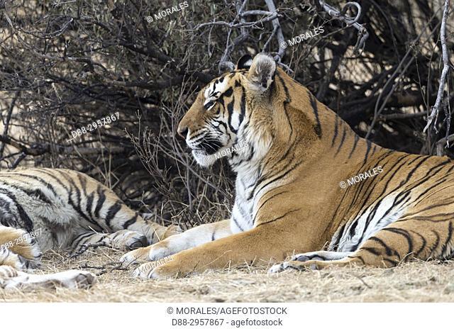 South Africa, Private reserve, Asian (Bengal) Tiger (Panthera tigris tigris), resting