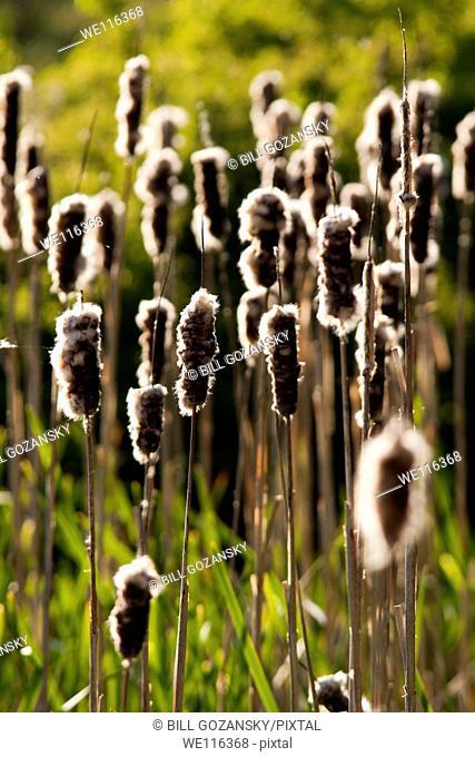 Cattail Patterns - Camano Island State Park - Camano Island, Washington USA