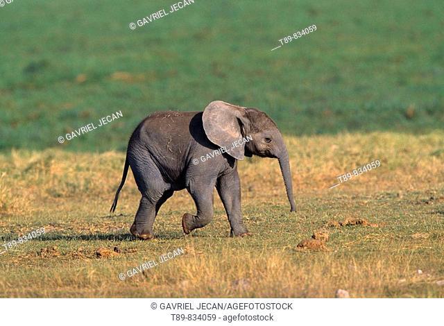 Baby African Elephant, Loxodonta Africana