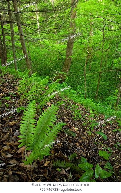Ferns, Whiteoak Sink, Spring, Great Smoky Mountains National Park, TN, USA