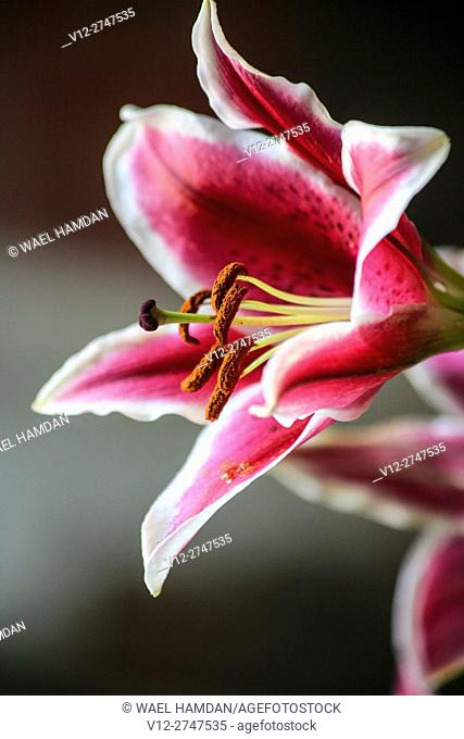 Red Fragrant Stargazer Lily