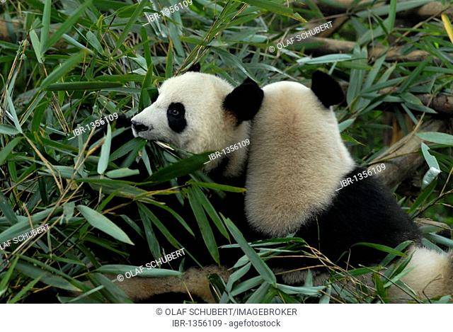 Two giant pandas (Ailuropoda melanoleuca) in a research and breeding center, comfortably eating bamboo leaves, Chengdu, Sichuan, China, Asia