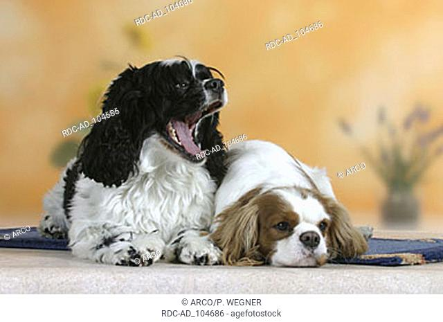 American Cocker Spaniel and Cavalier King Charles Spaniel Blenheim