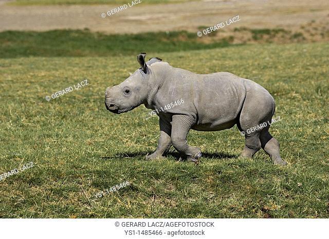 White Rhinoceros, ceratotherium simum, Calf standing on Grass, Nakuru Park in Kenya