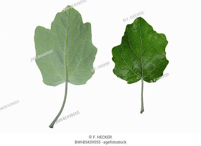 white poplar, silver-leaved poplar, abele (Populus alba), poplar leaves, upperside and underside, cutout