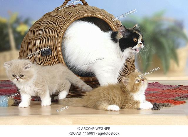 Persian Cat and kittens with cat's basket kennel