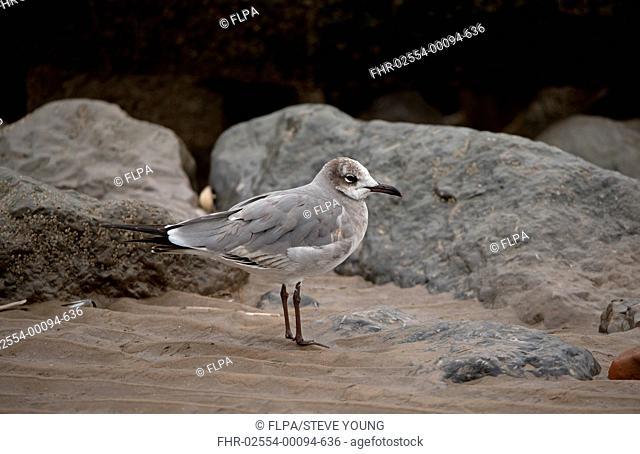 Laughing Gull (Leucophaeus atricilla) immature, first winter plumage, vagrant standing on beach, New Brighton, Wirral Peninsula, Merseyside, England, February