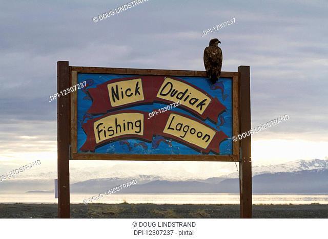 An immature Bald eagle (Haliaeetus leucocephalus) sits on a sign for Nick Dudiak Fishing Lagoon on the Homer Spit in summertime, South-central Alaska; Alaska
