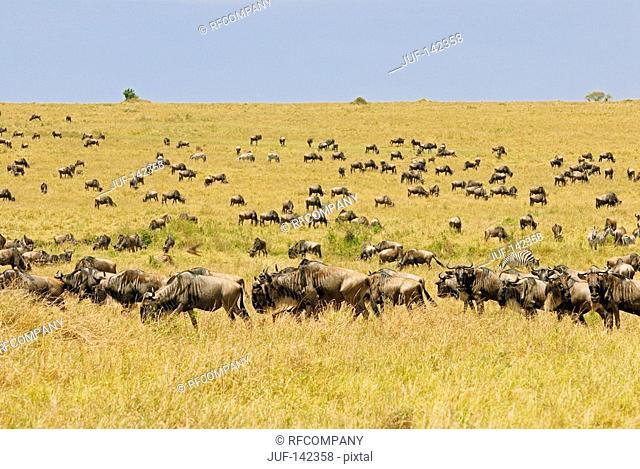 Blue Wildebeests - herd / Connochaetes taurinus