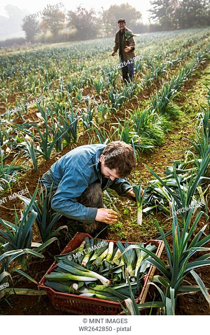 A woman and man working in the fields, harvesting cauliflowers