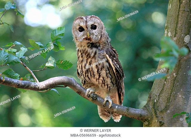 brown owl is sitting on a branch, Strix aluco
