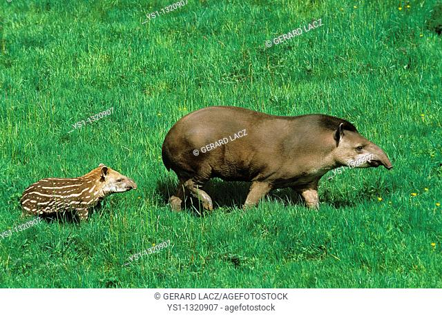 LOWLAND TAPIR tapirus terrestris, FEMALE WITH YOUNG