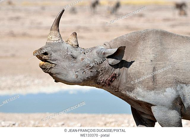 Black Rhinoceros (Diceros bicornis), adult male sniffing at waterhole, Etosha National Park, Namibia, Africa