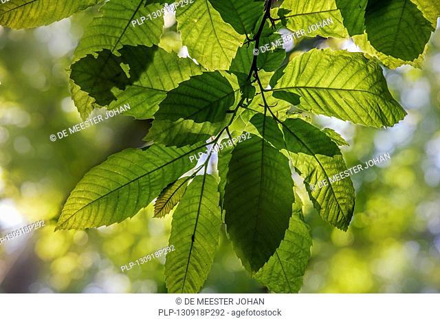 Sweet chestnut / marron (Castanea sativa) leaves in spring