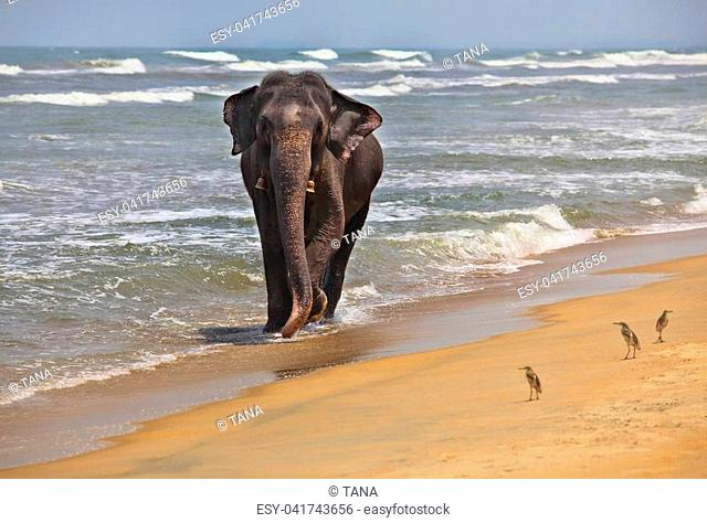 Indian elephant on the ocean shore