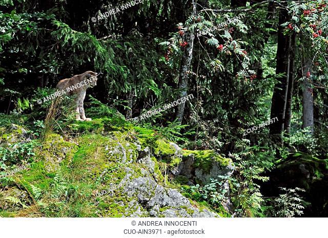 Germania - Baviera - Bayerischer Wald (Parco naturale) - Lince (Felis lynx) in ambiente