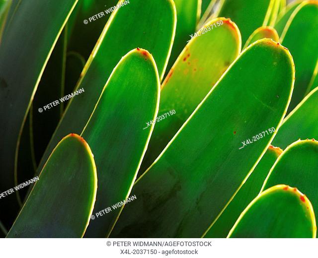 Botanical garden, succulent garden, aloe plicatilis, Portugal, Madeira, Funchal