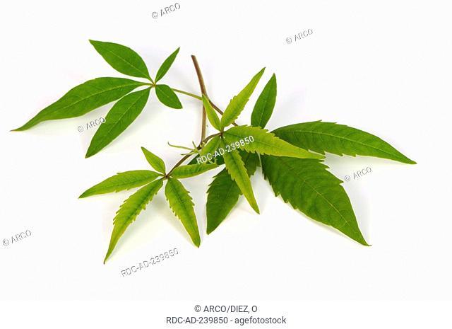 Cut-Leaf Chastetree, Cut-Leaf Vitex / Vitex negundo heterophylla