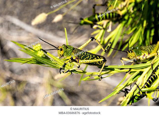 Karoo desert, (giant) grasshoppers, camouflage