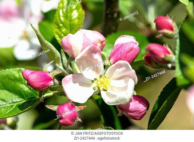 Blossom of apple tree