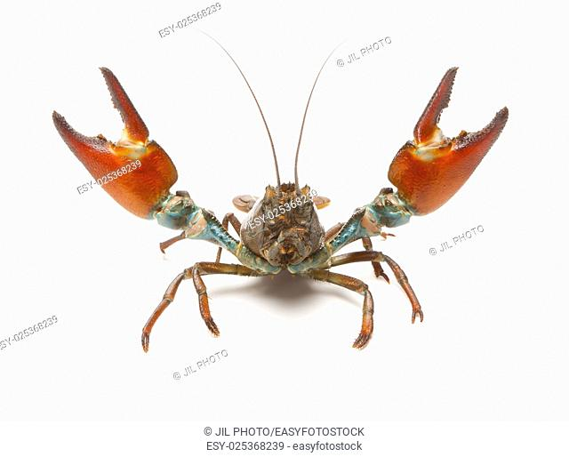 Signal crayfish, challenging with open clamps