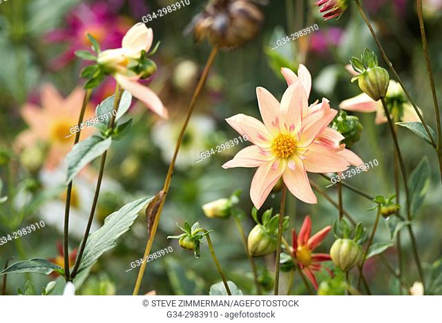 Dahlia Dalliance