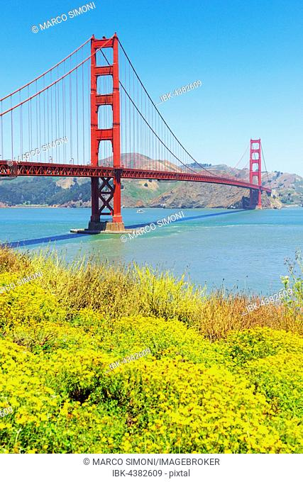 Golden Gate Bridge with flowers on hillside in foreground, San Francisco, California, USA