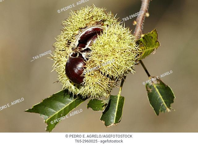 Chestnuts in an open hedgehog of a Castaño (Castanea). Galicia, Spain