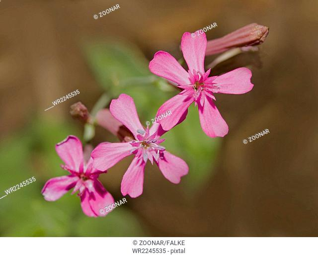 Sweet-william-catchfly Silene armeria